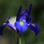 Iris in bloom