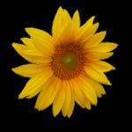 fresh sunflower butter