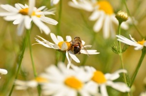 soothing chamomile essential oils