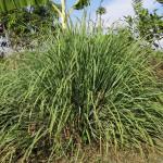 lemongrass essential oil copy