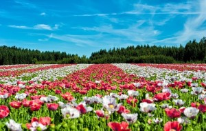 red and white field of poppies