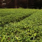 tea tree essential oil copy