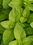 4oz Spearmint Redistilled Essential Oil