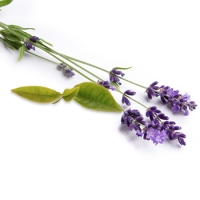 Tea Tree Lavender Essential Oil Blend