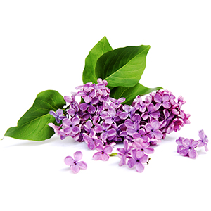 Lilac Fragrance Oil*