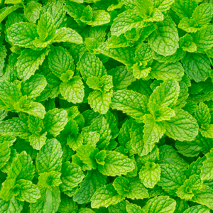 Peppermint Indian Redistilled Essential Oil